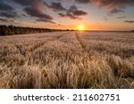 A Field Of Golden Ripe Barley...
