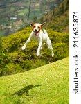 jack russell parson terrier...   Shutterstock . vector #211635871