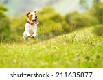Stock photo jack russel parson dog run toward the camera low angle high speed shot 211635877
