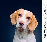 Portrait Of A Dog   Beagle