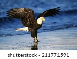 Bald Eagle Catching Fish In...