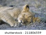 Lion Sleeping On Savannah Clos...