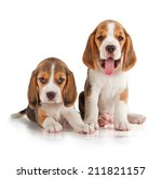 Stock photo cute beagle puppy week old 211821157