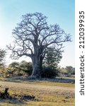 Small photo of Lonely old baobab tree (Adansonia digitata)) - Namibia, South-West Africa