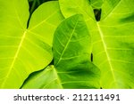 Big Taro Leaf In Tropical...