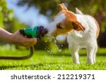 Dog Drinking From A Garden Hos...