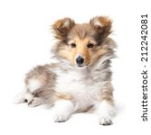 Stock photo sheltie puppy isolated on a white background 212242081