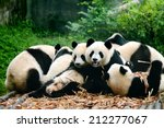 Group of cute giant panda bear...