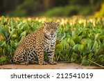 Jaguar  Amazon  Brasil