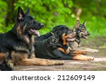 Group Of Dogs On Obedience...