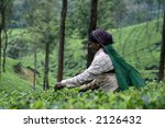 tea picker | Shutterstock . vector #2126432