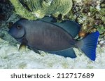 Small photo of Caribbean Sea, Belize, U.W. photo, Surgeonfish (Acanthurus gahhm) -