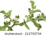 White Ice Plant Flower On Whit...
