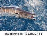 Beautiful Wahoo Fish On Andaman ...