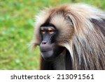 Gelada Baboons  Theropithecus...
