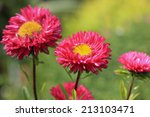 Pink Asters In Garden
