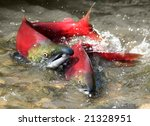 Male And Female Red Salmon In...