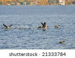 A group of Canada geese take off from a lake in Northern Ontario. - stock photo