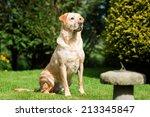 Golden Yellow Labrador...