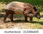 Cute Baby Malayan Tapir With...