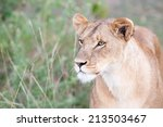 lion the king in the savannah... | Shutterstock . vector #213503467