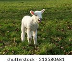 Little Spring Lamb In A Green...