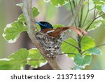 Small photo of A male African Paradise Flycatcher (Terpsiphone viridis) sitting on its nest