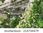 Stock photo beautiful blooming roses in garden at summer 213734479