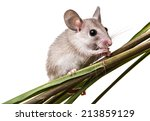 Small photo of a little mouse on a white background (acomys cahirinus)