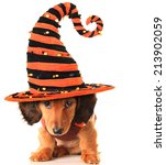 Longhair Dachshund Puppy ...