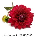 Red Dahlia With Leaf Isolated...