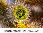 Cholla Cactus Garden In The...