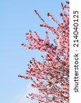 Sakura Cherry Tree With...