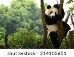 Cub Of Giant Panda Bear Playing ...