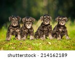 Miniature Schnauzer Puppies...