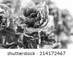 Black And White Dried Rose...