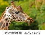 rothschild giraffe  giraffa... | Shutterstock . vector #214271149