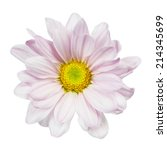 Chrysanthemum Daisy Isolated O...