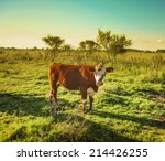 Cow In The Field Watching The...
