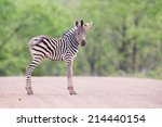 Stock photo small zebra foal standing on a road alone looking for his mother 214440154