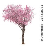 Blossoming Pink Sacura Tree...