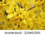 Detail Of Yellow Forsythia...