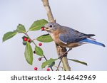 Small photo of Eastern Bluebird with American Holly Berry