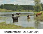 cows in the river bug  watering