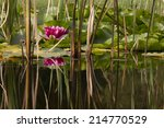 Side View On Water Lily Plant...