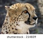 Cheetah In Profile