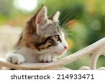 Stock photo cute gray kitten sitting on a bench in the park 214933471