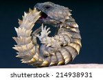 Armadillo Girdled Lizard  ...