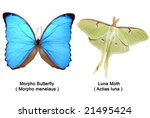 True Morpho Butterfly ( Morpho menelaus ) and Luna Moth (Actias luna ). VECTOR. - stock vector