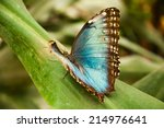 Small photo of Large blue brown butterfly on a green leaf